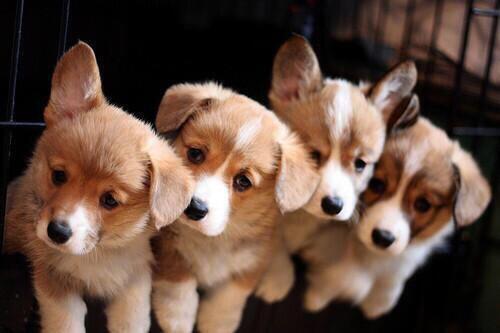 首をかしげている四つ子の子犬